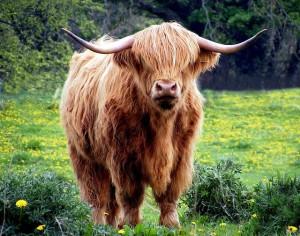 cow-431729_640
