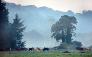 misty cows